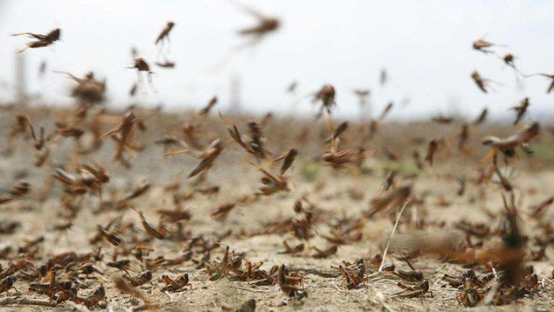 آخرین جزئیات مبارزه با آفت ملخ های صحرایی و مراکشی در کشور، اعتبار مبارزه با آفت ملخ به 20 میلیارد تومان رسید